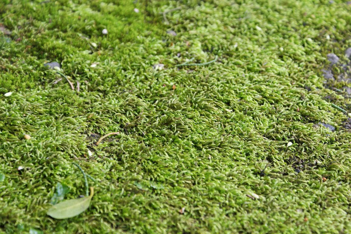 ta bort mossa i gräsmattan